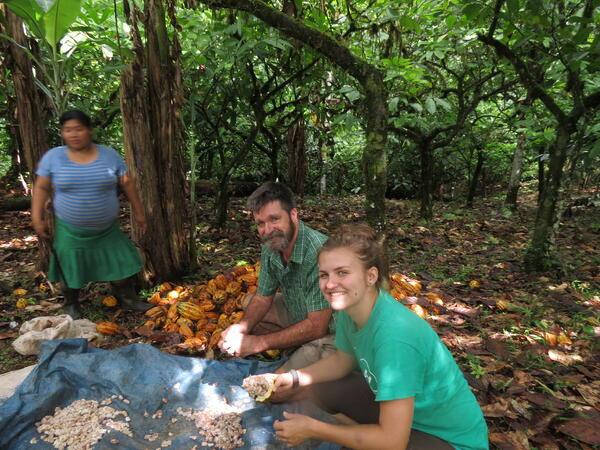 Harvesting cocoa in Panama