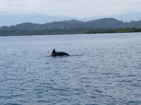 Dolphins in Bocas del Toro